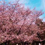 井之頭公園の桜が近くにも咲いていました